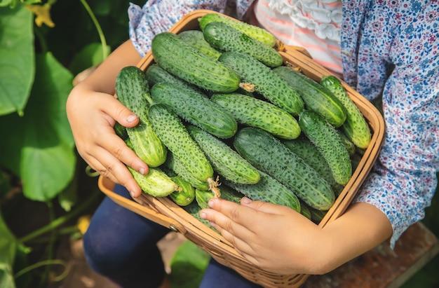 Coltivazione e raccolta casalinghe del cetriolo nelle mani di un bambino.