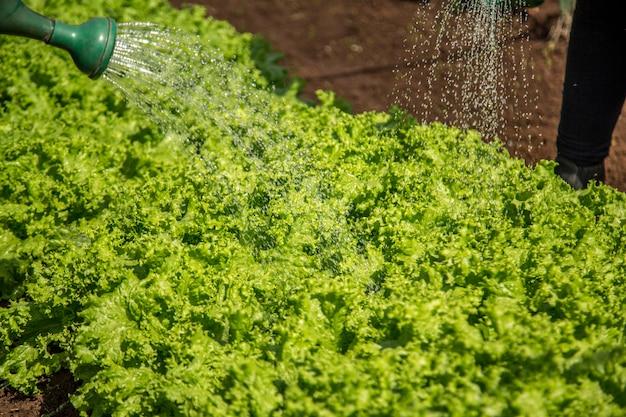 Coltivazione e raccolta dell'irrigazione di lattuga