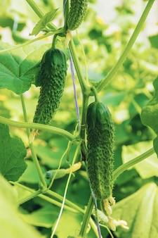Coltivazione e raccolta di cetrioli fatti in casa. messa a fuoco selettiva.