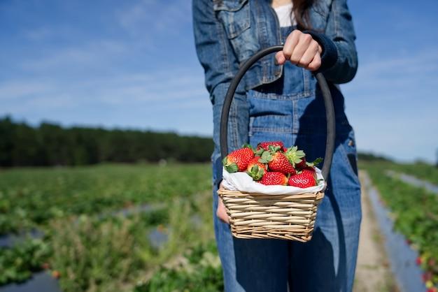 Coltivi il canestro della tenuta della ragazza della fragola piena che sta nel campo dell'azienda agricola della fragola.