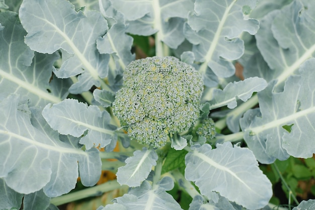 Coltivi la piantagione di cavolo broccoli nel giardino senza fertilizzanti.