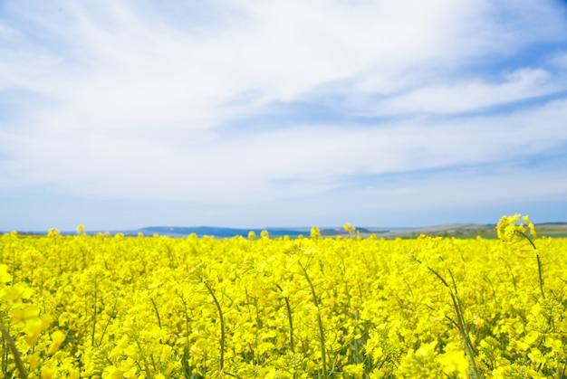 Colza campo giallo.