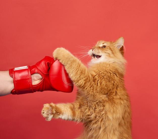 Combattimenti di gatto rosso adulto con un guantone da boxe rosso