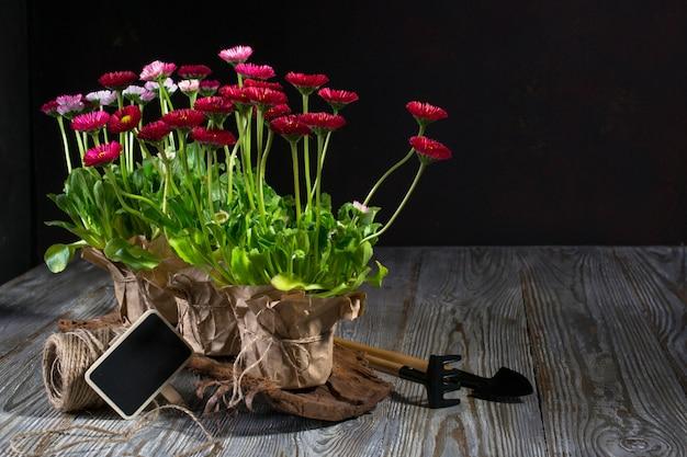 Composizione con i primi fiori margherita per strumenti di piantagione e giardinaggio