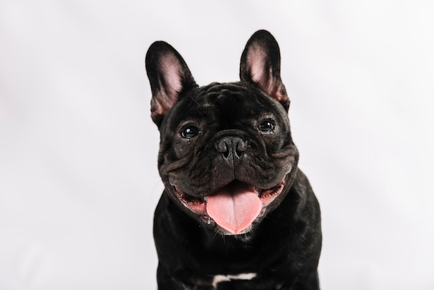 Composizione di animali domestici adorabili con il bulldog