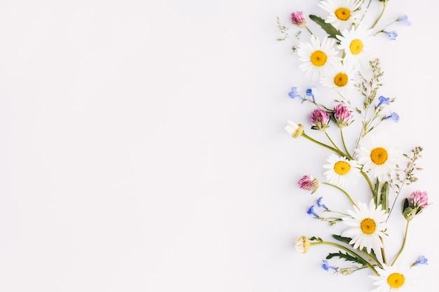 Composizione di fiori, margherite, trifoglio, fiori di campo su uno sfondo bianco