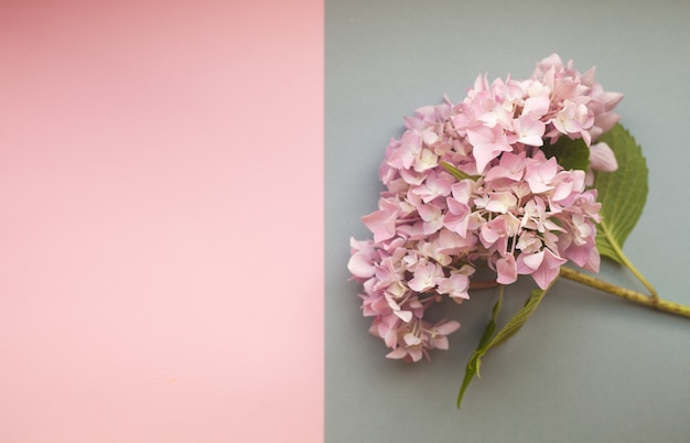 Composizione nei fiori di rosa dell'ortensia contro fondo di due tonalità con copyspace