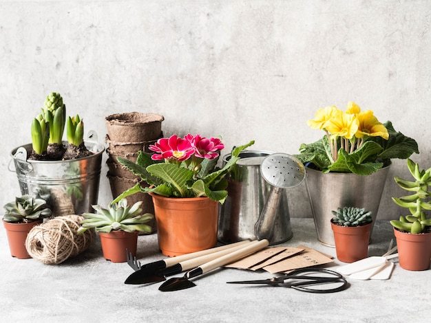 Composizione nel giardino con i giacinti, la primaverina e le piante grasse in vasi e strumenti di giardino sulla tavola grigia.