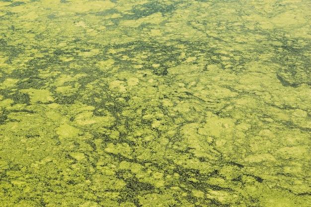 Con la lenticchia d'acqua della palude del lago in acqua