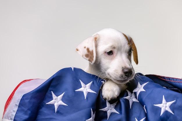 Concetto americano di festa dell'indipendenza, posa sveglia del terrirer di jack russell del cucciolo con la bandiera di usa