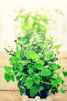 Concetto astratto di primavera o estate. erbe biologiche (melissa, menta, timo, basilico, prezzemolo) su fondo di legno con luce solare e perdite soleggiate.