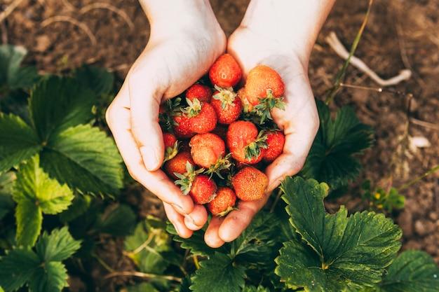 Concetto dell'azienda agricola con le mani che tengono le fragole