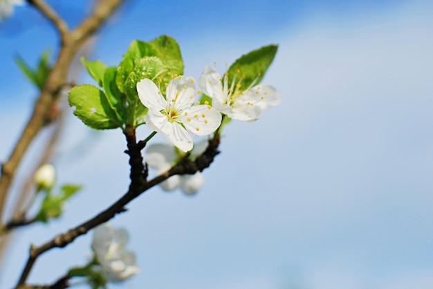 Concetto della primavera, fiore del susino su cielo blu