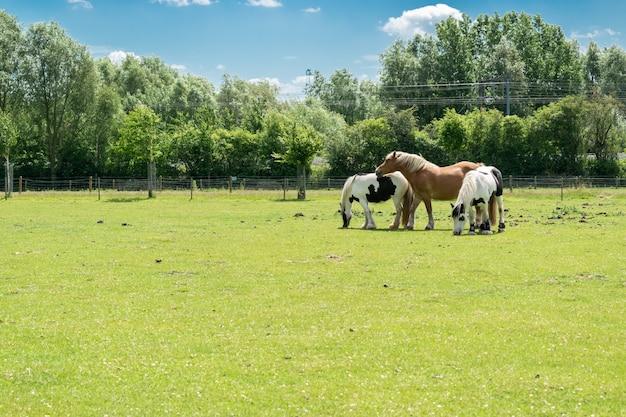 Concetto di allevamento e animali: vista di tre cavalli su un pascolo.