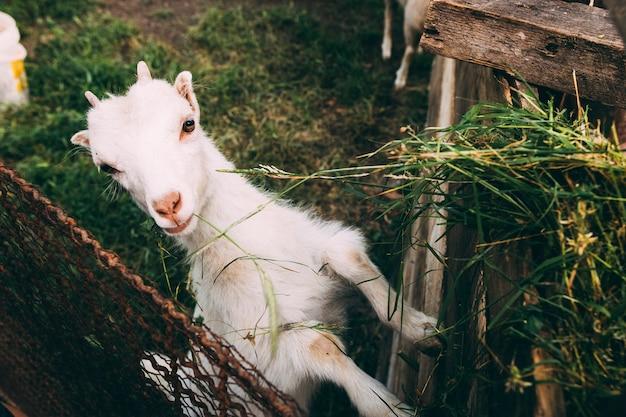 Concetto di fattoria con capra carina