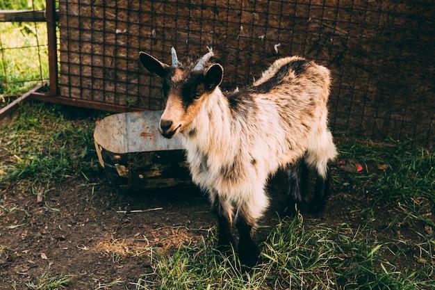 Concetto di fattoria con capra in piedi