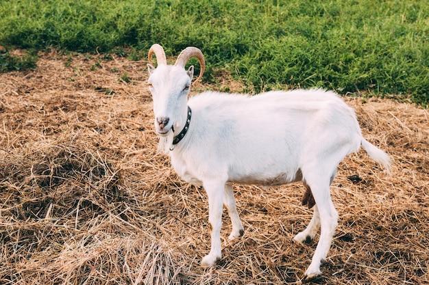 Concetto di fattoria con capra