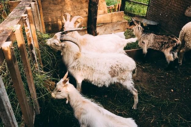 Concetto di fattoria con le capre