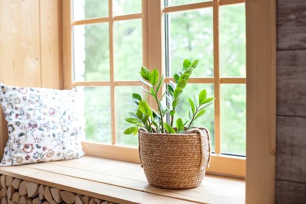 Concetto di giardinaggio domestico. zamioculcas in vaso di fiori sul davanzale. piante domestiche sul davanzale della finestra.