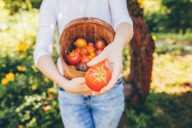 Concetto di giardinaggio e agricoltura. la manodopera agricola della giovane donna passa il canestro della tenuta che seleziona i pomodori organici maturi freschi in giardino. prodotti della serra. produzione di alimenti vegetali.