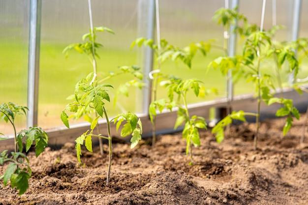 Concetto di giardinaggio e agricoltura. pomodori organici che crescono nella serra. prodotti della serra. produzione di alimenti vegetali