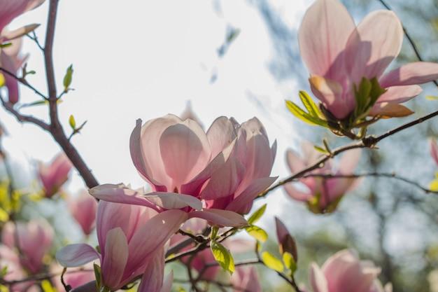 Concetto di giardino botanico. ramo di magnolia. fiori di magnolia. fine del fondo dei fiori della magnolia su. fioritura tenera. sfondo floreale. aroma e fragranza. stagione primaverile. botanica e giardinaggio