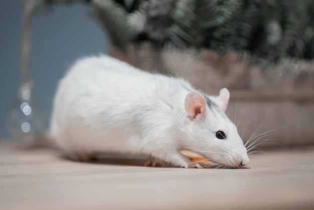 Concetto di nuovo anno. simpatico ratto domestico bianco con decorazioni di capodanno. il simbolo del 2020 è un topo