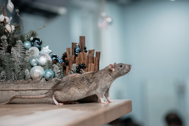 Concetto di nuovo anno. simpatico ratto domestico marrone con decorazioni di capodanno. il simbolo del 2020 è un topo