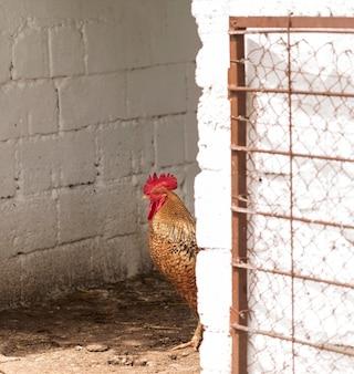 Concetto di vita di fattoria con gallo