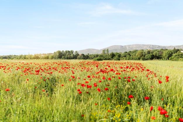 Concetto rurale con campo di papaveri