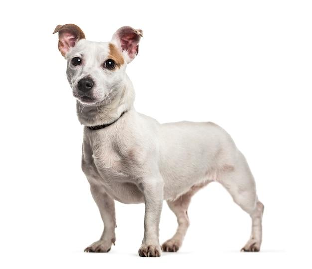 Condizione del cane di jack russel