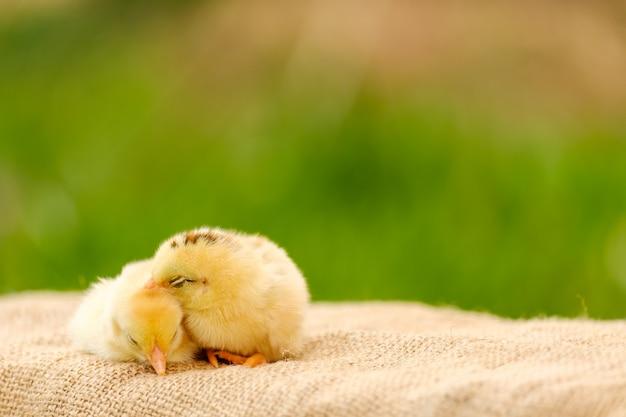 Condizione neonata di due polli sul pavimento e sul fondo della sfuocatura con lo spazio della copia