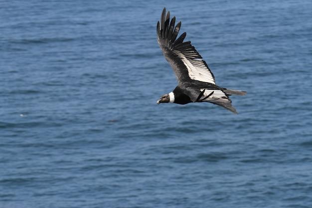 Condor andino che vola