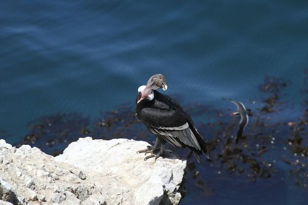 Condor andino sulla costa rocciosa