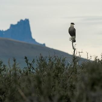 Condor che si appollaia sull'albero, parco nazionale di torres del paine, patagonia, cile