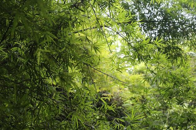 Congedo per alberi di bambù, foresta