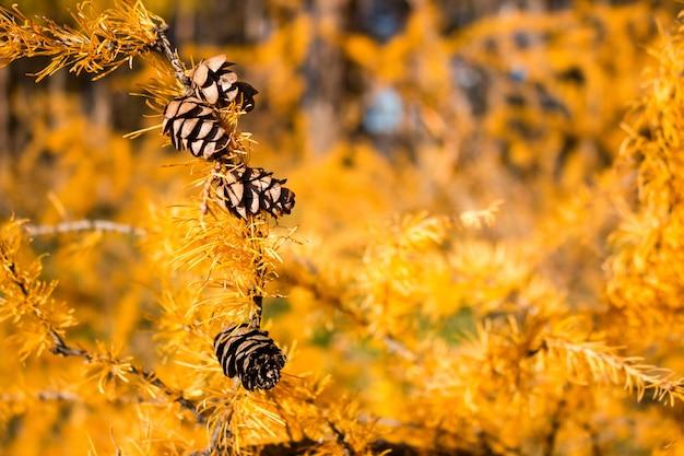 Coni autunnali del larice su un fuoco selettivo del fondo giallo