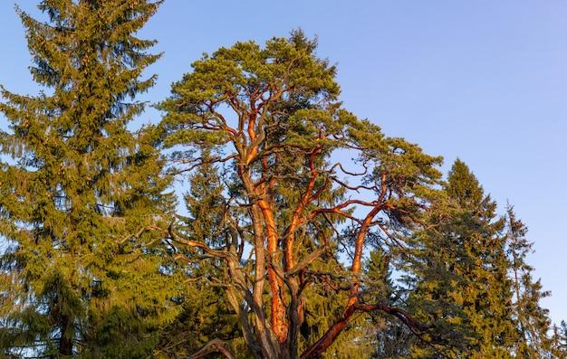 Conifera in natura nella stagione invernale. foresta di conifere nel nord.