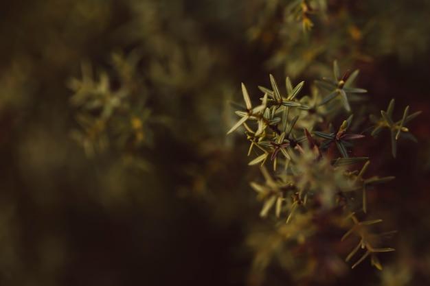 Conifera sempreverde con sfondo sfocato