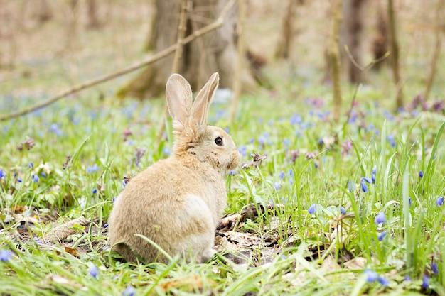 Coniglietto di pasqua su un prato in fiore. lepre in una radura di fiori blu.