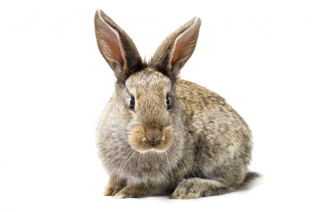 Coniglietto lanuginoso grigio, isolato, piccolo coniglio di pasqua