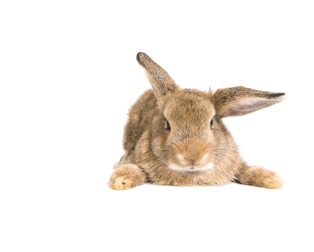 Coniglio adorabile del bambino dei capelli di scarsità del brown su fondo bianco