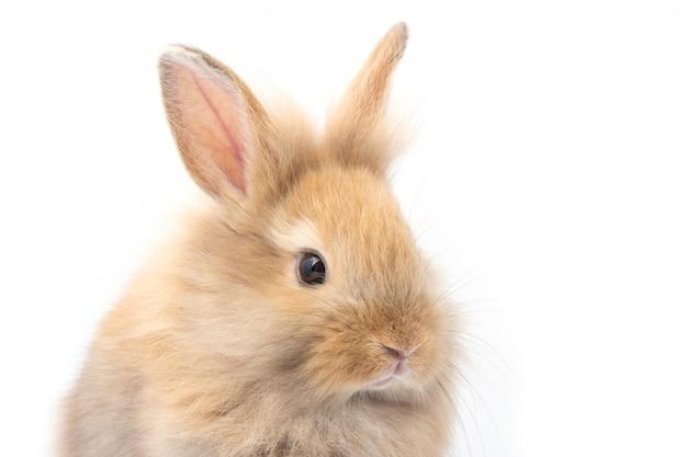 Coniglio adorabile del bambino di brown su fondo bianco.