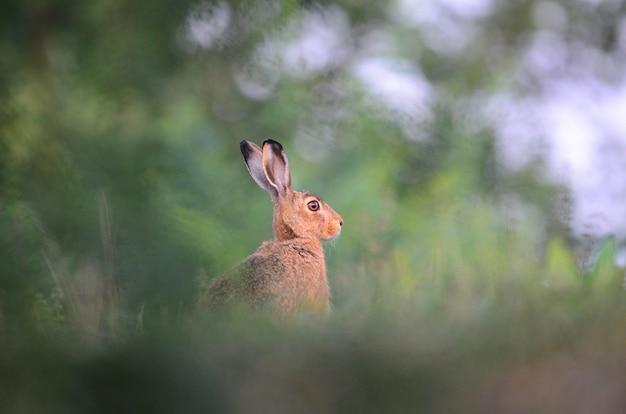 Coniglio che guarda intorno in un campo erboso