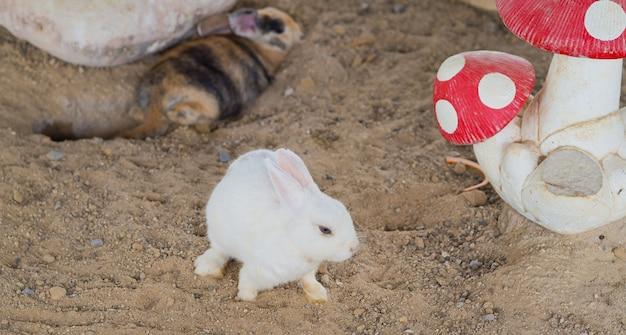 Coniglio, coniglio domestico