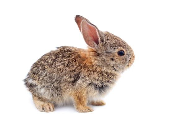 Coniglio di silvilago del bambino isolato