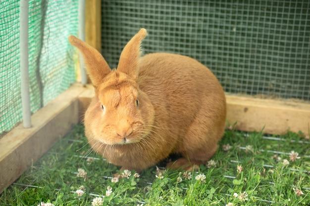 Coniglio domestico arancione in una gabbia con erba verde