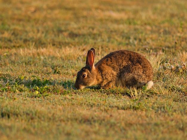 Coniglio marrone in un campo circondato da erba sotto la luce del sole con uno sfondo sfocato