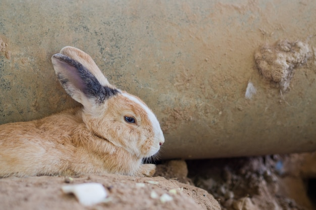 Coniglio marrone