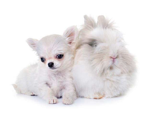Coniglio nano e cucciolo di chihuahua
